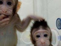 Çin'de ilk kez iki maymun klonlandı