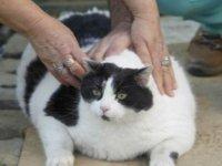 Obez kedi Tombalak diyete başlıyor