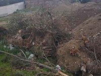 Girne'de ağaç katliamı