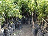 Tarımsal Araştırma Enstitüsü meyve fidanı satışına başladı