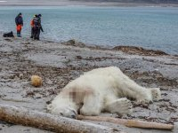 Kutup ayısını kendi yaşam alanında öldürdüler!