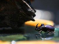 Gergedan böceklerine karşı savaş açtılar