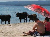 İsveç'te inekler çıplaklar plajına girebilecek