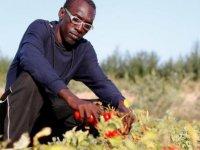 """İtalya'da sığınmacıların """"domates gettosu"""""""