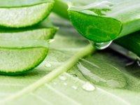 Aloe vera nedr? Aloe veranın faydaları neler?