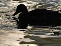 'Dünyanın en yalnız ördeği' ne horoz tacizi