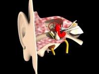 İç kulakta yeni nöronlar keşfedildi