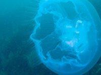 Yeni Zelanda'da kıyıya vurmuş dev denizanası bulundu