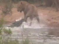 Aslan timsaha yem olmaktan son anda kurtuldu (video)