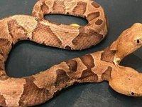 ABD'de bir evin arka bahçesinde çift başlı yılan görüldü