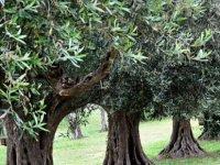 Girne ilçesi için zeytin hasadına başlama tarihleri açıklandı