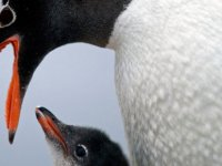 Antarktika'da buz tabakası parçalandı, binlerce yavru penguen boğuldu