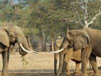 Yakından fotoğraf çekmeye çalışırken filin altında kalan Alman turist öldü