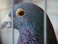 Yeni Zelanda'da 'sarhoş güvercin', yılın kuşu seçildi