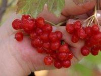 Gilaburu bitkisinin faydaları bilimsel olarak kanıtlandı