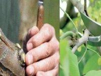 Meyve Ağaçlarında Uygulamalı Budama ve Aşılama Tekniklerinin Eğitimi verilecek