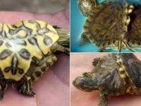 Siyam ikizi kaplumbağa bulundu