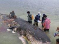 Ölü balinanın midesinden çıkanlar herkesi şaşırttı