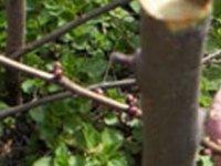 Türkmenköy'de meyve ağaçlarında budama ve aşılama teknikleri ile ilgili uygulamalı eğitim verilecek