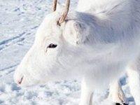 Norveç'te bir fotoğrafçı, nadir görülen beyaz Ren geyiklerini görüntüledi