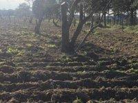 400 'e yakın zeytin ağacı'nın budanması,bakımı yapıldı.