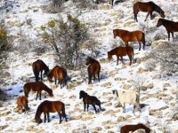 Murat Dağı'nda yılkı atlarının yem mücadelesi
