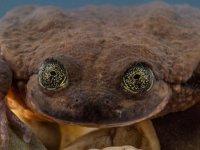 Kurbağa Romeo 'Juliet'ini buldu: Türünün devamı randevunun nasıl geçeceğine bağlı