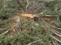 Ağaçları kesti! Odunları çaldı! Polis soruşturma başlattı