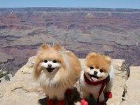 Dünyanın en sevimli köpeği' Boo, 'kalp kırıklığından' öldü