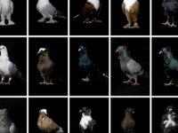 Güvercin oteli: Ev ve araba fiyatına güvercinler 'otelde konaklıyor'