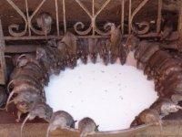Burada insanlar farelere tapıyor...