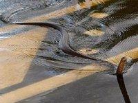 Avustralya'da sel suları, timsah ve yılanları evlerin önüne sürükledi