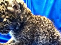 Uçak yolcusunun bavulunda leopar yavrusu bulundu