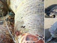Devasa kaplumbağa Silver Beach'te sahile vurdu