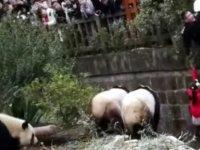 Küçük kız pandaların olduğu kafese düştü