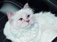Bu kedi, 200 milyon dolarlık mirasa sahip olabilir