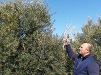 Güzelyurt'ta zeytin hasadı tarihleri açıklandı
