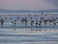 Tuz Gölü'nde ölen Flamingo kurşundan zehirlenmiş