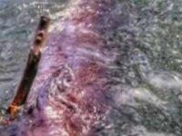 Sahile vuran balinanın midesinden 40 kilo naylon torba çıktı