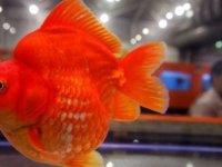 Şov olsun diye Japon Balığı yuttu, mahkemelik olup ceza aldı