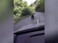 Böyle gündemler de var! Kosova'da gündem: Koyunları yiyen ayı öldürülsün mü, öldürülmesin mi…