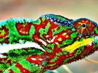 Bukalemunlar nasıl renk değiştirir? İşte büyük sır!