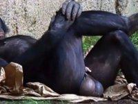 Bilim Köşesi: Şempanze ile İnsan Testisleri Arasındaki Boyut Farkının Evrimsel Analizi
