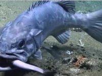 Köpekbalığını bütünüyle yutan dev balık görüntülendi (Video)