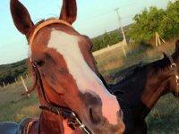 Kaybolan yarış atı kesilmiş ve etleri alınmış olarak bulundu