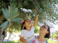 Lefke'de zeytin ve harnup hasadına başlama tarihleri açıklandı
