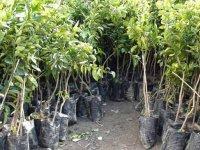 Güney Lefkoşa'ya 300 Bin ağaç dikiliyor
