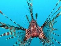 Kıbrıs sularında, aslan balıklarının istilasına karşı mücadele veriliyor!