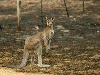 Avustralya'nın Bribie Adası'nda çıkan yangında onlarca kanguru öldü