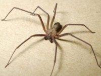 Kulağına su kaçtı sanıp doktora gitti; zehirli örümcek çıktı